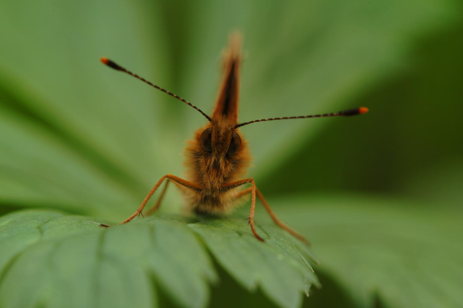Boloria thore ssp. borealis